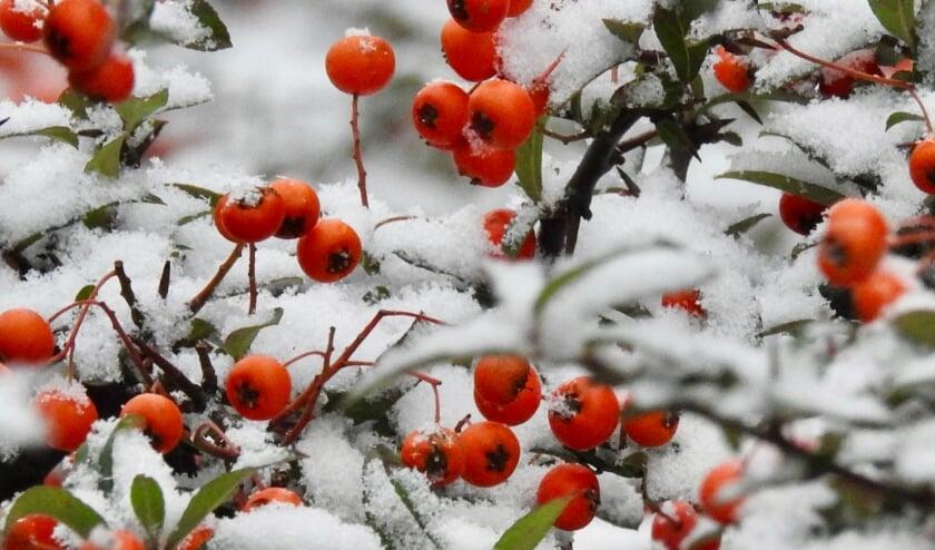<p>Een prachtig contrast, rode bessen in de sneeuw.</p>