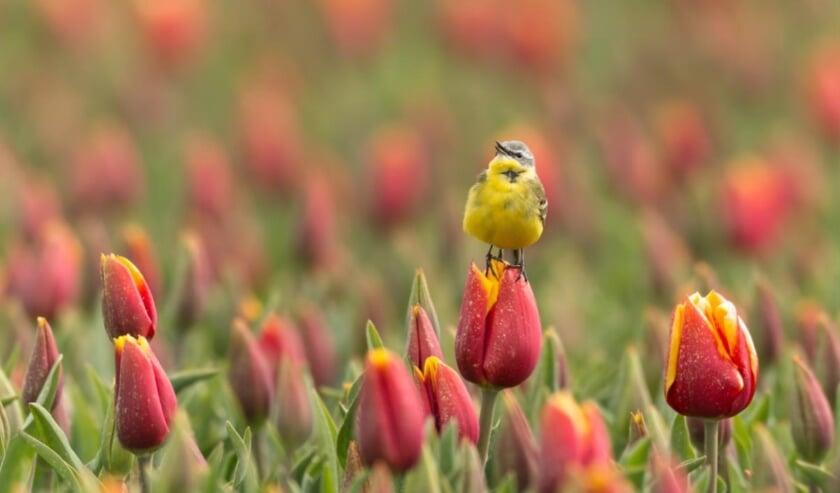 De gele kwikstaart is een graag geziene gast in de bollenvelden. Afgelopen jaar zijn er maar liefst 160 broedparen vastgesteld door de groep.
