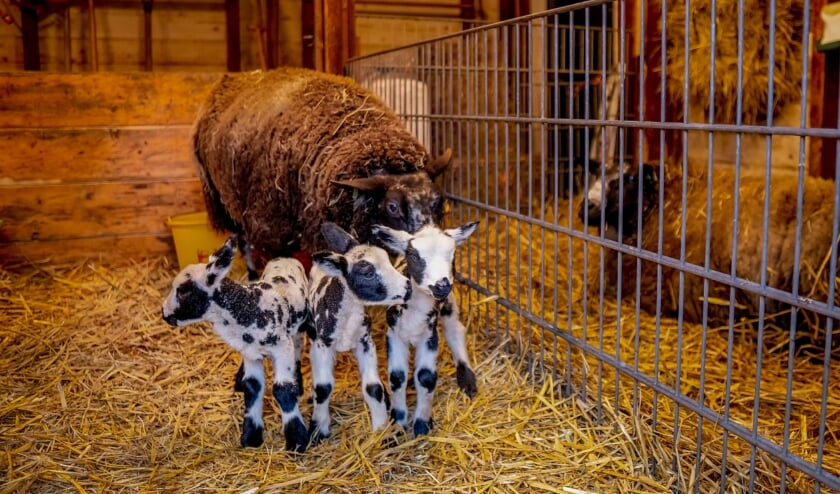 <p>Moeder schaap met haar drie lammetjes.</p>