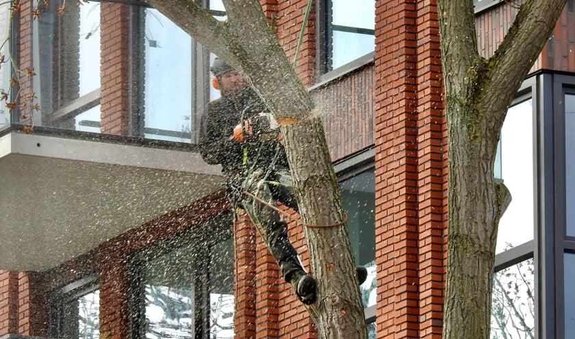 <p>De kettingzaag maakt korte metten met een boom bij appartementengebouw De Ridder.&nbsp;</p>