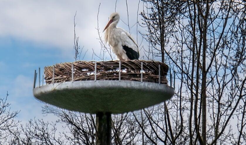 <p>Elke dag strijkt de ooievaar een paar uur neer op het nest in De Houtkamp.</p>