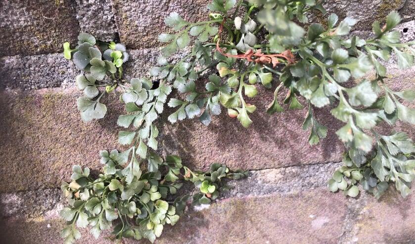 <p>In Leiderdorp hebben we geen kalkrijke rotsen waar muurvarens kunnen groeien, maar als plaatsvervangers wel oude muren. </p>